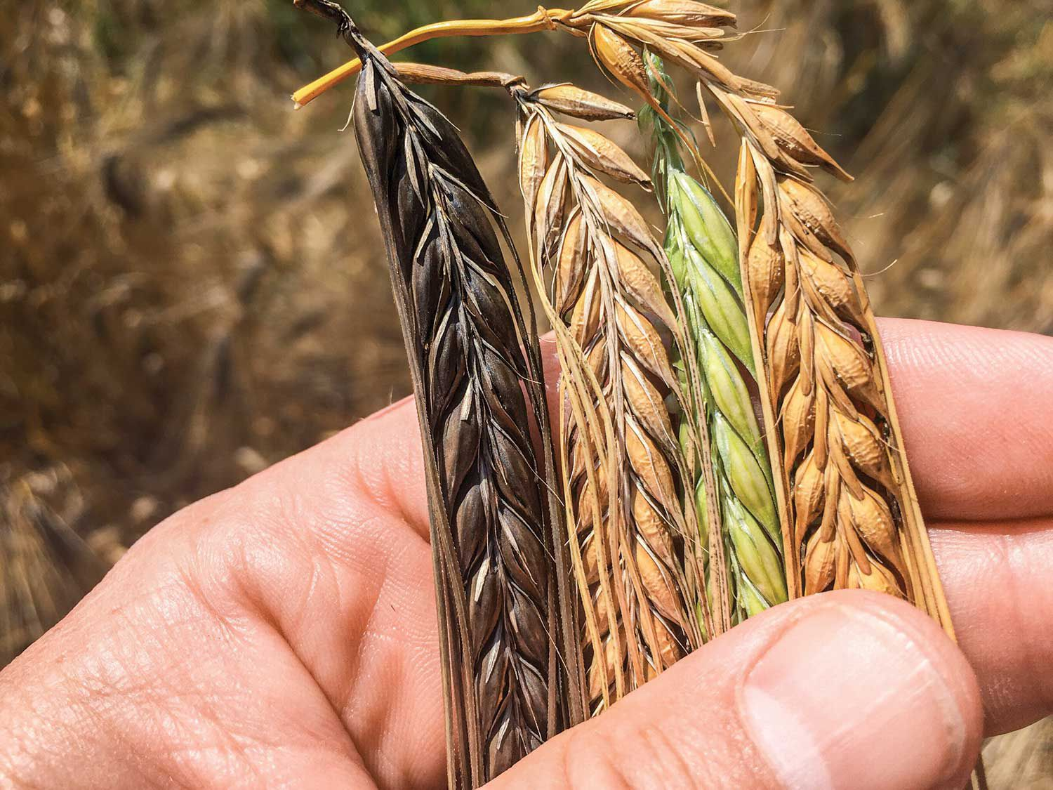 Skagit Valley farmers are growing barley varieties new and old for the distillery.